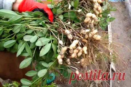 Как вырастить земляной орех - арахис — Садоводка