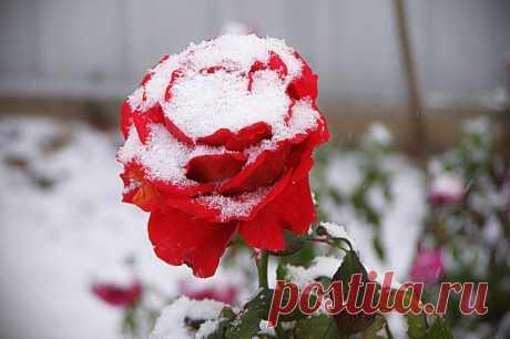 Простой способ укрыть розы и другие цветы на зиму, чтобы не замёрзли — Садоводка