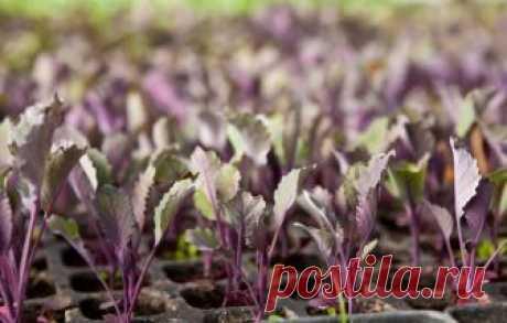 Как вырастить рассаду краснокочанной капусты своими руками В этой статье поговорим о том, как вырастить рассаду краснокочанной капусты. В какие сроки садить семена, какую почву выбрать, как ухаживать за саженцами