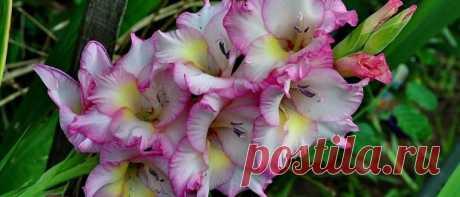 Чем подкармливать гладиолусы для обильного цветения Чем подкармливать гладиолусы для обильного цветения. Удобрения для гладиолусов для выращивания в открытом грунте. Как и когда правильно вносить подкормки.