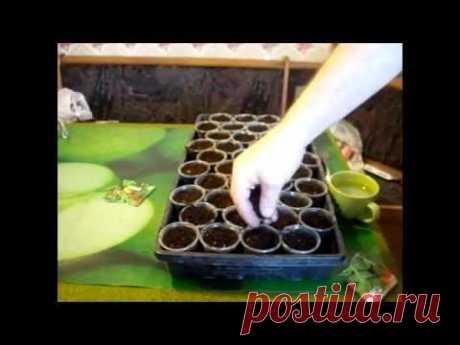 Выращивание рукколы. Пошаговые действия. Это полезно знать. // Олег Карп - YouTube