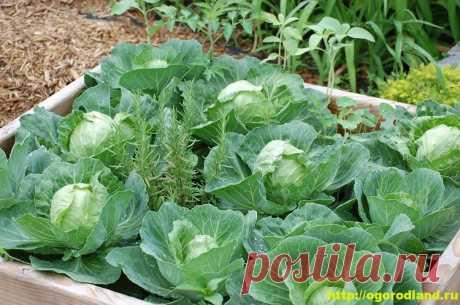 Выращивание капусты в ящиках