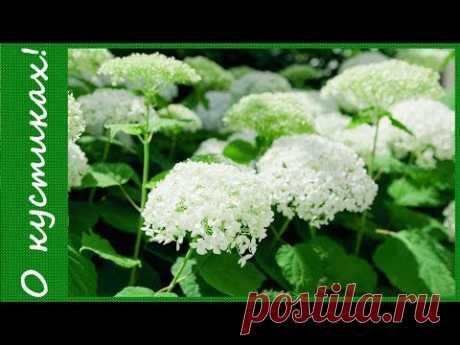Весенняя обрезка  гортензии древовидной Аннабель на цветение. Неприхотливые садовые кустарники.