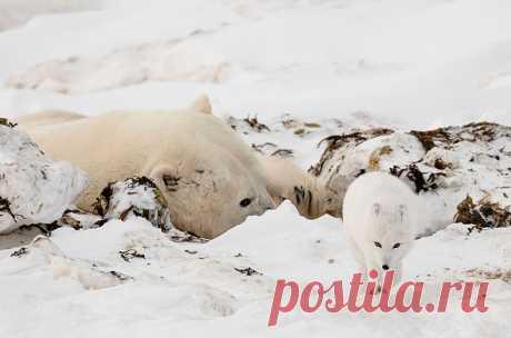 Спящий белый медведь был разбужен пробегавшим мимо песцом. Кстати, песцы часто преследуют белых медведей. Почему - читайте на сайте