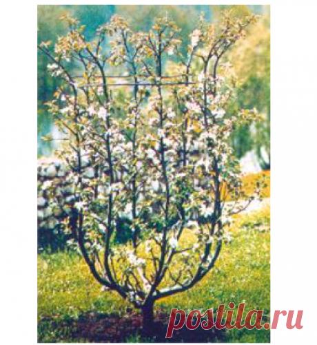 """Формовый плодовый сад: плоские и объемные формы, стланцевые формы - журнал """"Ландшафт. Коттедж. Интерьер"""""""