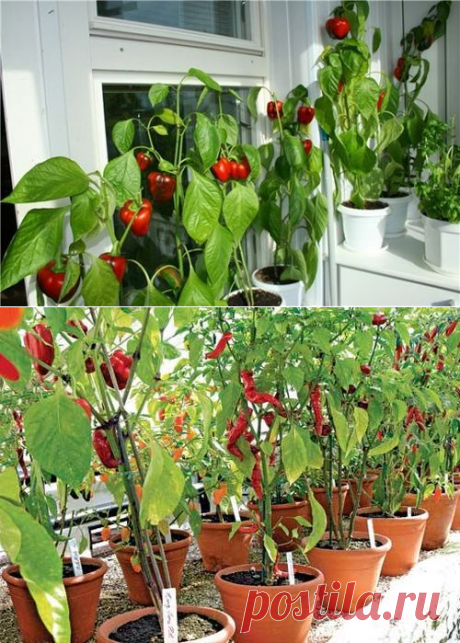 Выращивание перца на балконе: вырастить перец болгарский сладкий