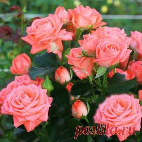Что такое розы спрей и как их вырастить в своем саду   VseOlady.ru   Яндекс Дзен