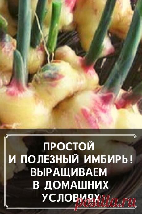 Такой полезный и такой простой в выращивании имбирь. Мы расскажем чем он так особенен и как его выращивать в домашних условиях. Все очень просто и полезно.
