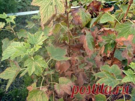 3 растения, рядом с которыми смородина обмельчает и зачахнет | Девушка на карантине | Яндекс Дзен