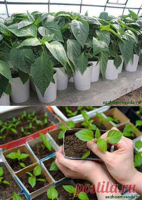 Рассада перца: секреты выращивания | Азбука садовода