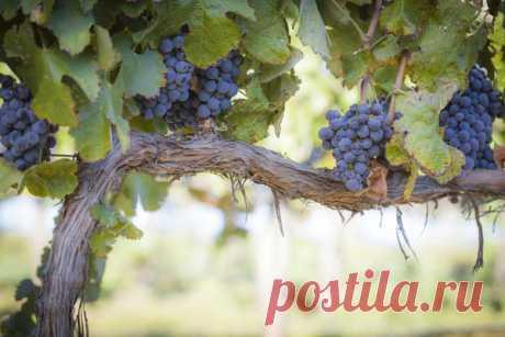 Упрощенная схема питания виноградной лозы | Prosad.ru: Все про сад и дачу | Яндекс Дзен
