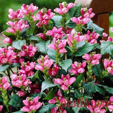 Непопулярное, но очень красивое растение в осеннем саду | Ландшафтный дизайн | Яндекс Дзен