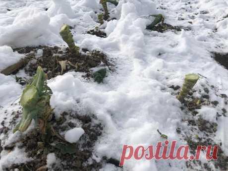 Зачем оставлять стебли от капусты под снег | 6 соток