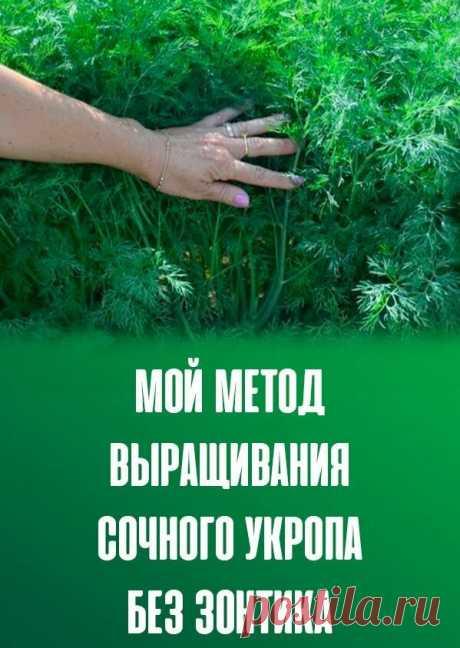 Всегда полно укропа и никаких зонтиков - рассказываю свой опыт выращивания пышных кустов   Садовый рай 🌱   Яндекс Дзен
