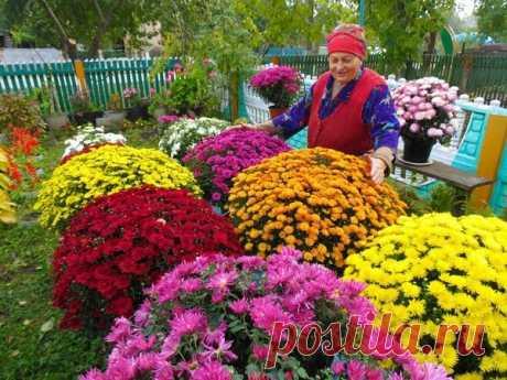 Как ухаживать за хризантемой весной, чтобы осенью стала цветущим шариком | Блоги о даче и огороде, рецептах, красоте и правильном питании, рыбалке, ремонте и интерьере