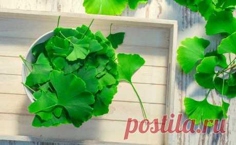 Гинкго билоба — что это за растение - 8 целебных свойств