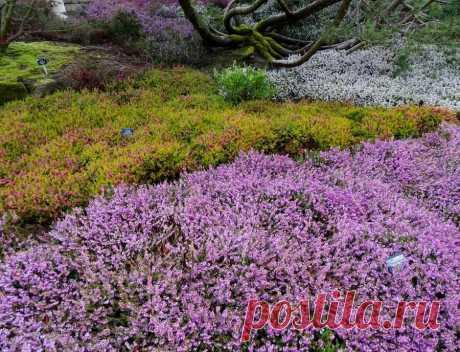 10 невибагливих грунтопокривних рослин, які створять в саду яскраві килими. Опис, фото - ЗЕЛЕНА САДИБА Створюючи щільні або мереживні килими, грунтопокривні рослини дозволяють трансформувати схили і майданчики, надають приємну альтернативу звичним газонам.