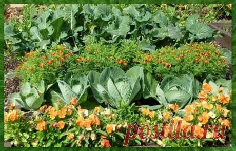 3 действенных совета, как спасти капусту от вредителей