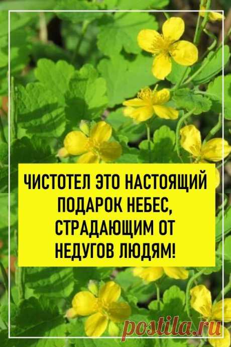 Чистотел — это растение настоящий ″подарок небес″ страдающим от недугов людям! Чистотел: лечебные свойства, описание, применение в народной медицине…