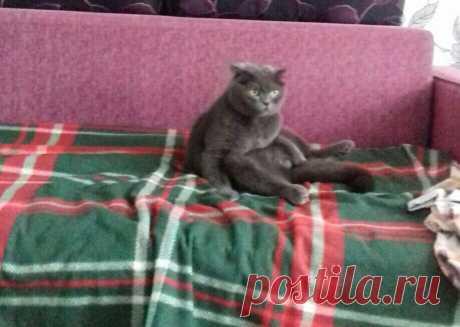 Вислоухий британский кот ведёт себя по-человечески | О кошках и не только | Яндекс Дзен
