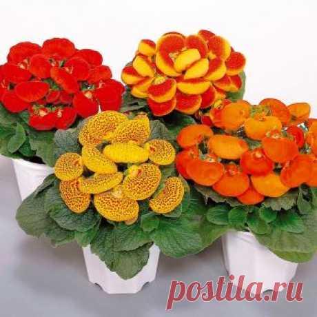 Кальцеолярия - необычные, забавные цветы, имеющие причудливую форму, напоминающую деревянные башмачки. Виды - пурпурная, морщинистая, гибридная и др.