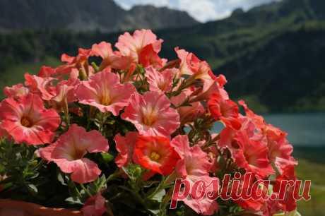 Чем подкормить петунию для обильного цветения - Садоводка