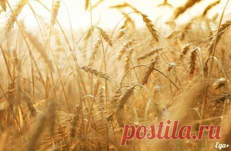 Пшеница (37 картинок) ⭐ Забавник