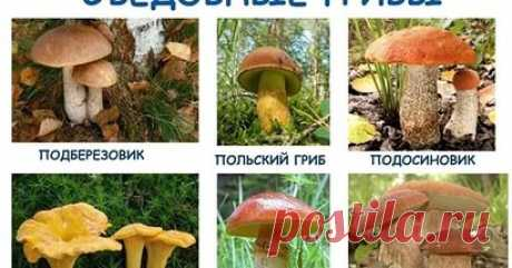 грибы фото с названиями: 20 тыс изображений найдено в Яндекс.Картинках