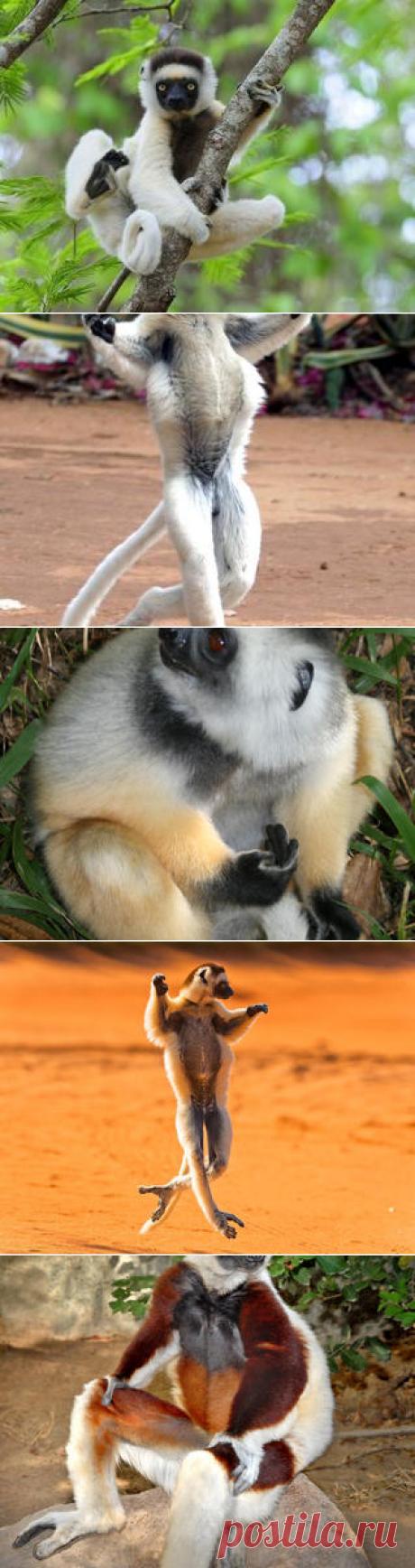 Смотреть изображения сифак | Зооляндия