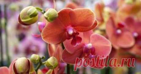 Стимулируем цветение орхидеи! Описывать все достоинства этого комнатного растения не имеет никакого смысла, ведь большинство почитательниц домашних цветов давно полюбили сказочно красивую орхидею за пестрый внешний вид и неприхотливую натуру. Но что делать, если твоя домашняя орхидея всё же решила проявить характер и отказалась цвести?