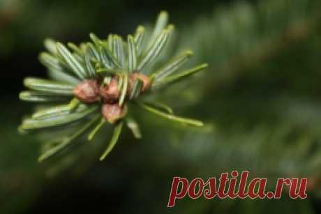 Шишки хвойных деревьев - Садоводка