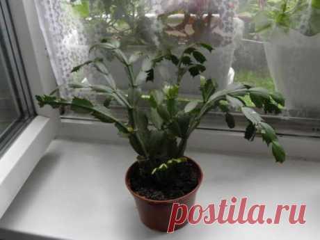 Декабрист: пересадка растения в домашних условиях