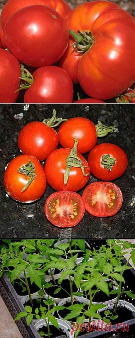 Как вырастить рассаду крупных томатов,интересный способ.