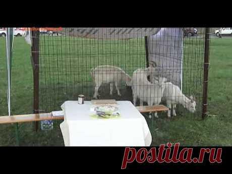 (+1) тема - Домашние козы | ПОТРЕБИТЕЛЬ, БДИ