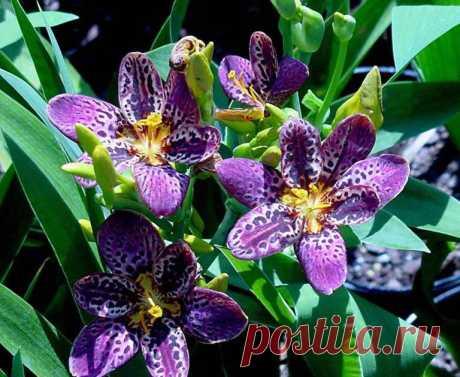 Беламканда китайская выращивание из семян Посадка и уход Цветок леопарда лесная орхидея фото сортов
