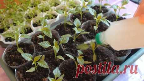 Как вырастить крепкую РАССАДУ!? Средство для роста корней и рассады