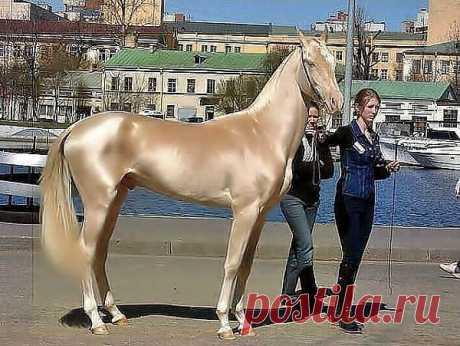 Изабелловая или кремовая масть лошади. Самая редкая и удивительно красивая.