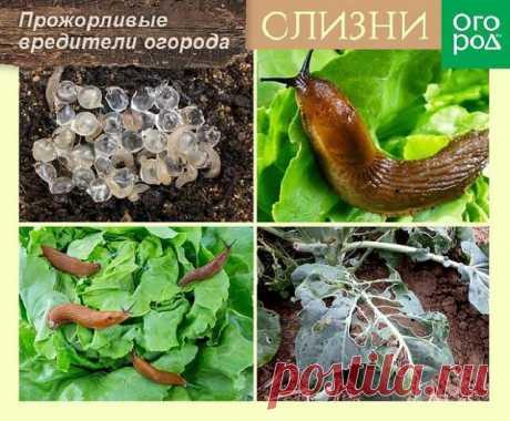 7 растений, которые помогут отпугнуть слизней и улиток с грядок | Болезни и вредители (Огород.ru)