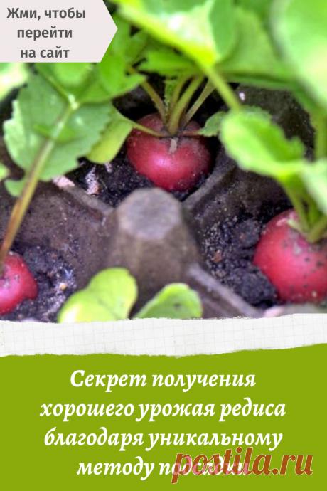 Секрет получения хорошего урожая редиса благодаря уникальному методу подсадки
