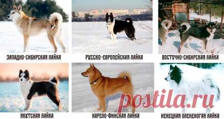 Хаски, лайки, маламуты. В чем отличия и как научиться разбираться в породах | Рекомендательная система Пульс Mail.ru