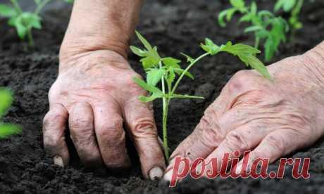 Правила высадки рассады томатов в открытый грунт и теплицу