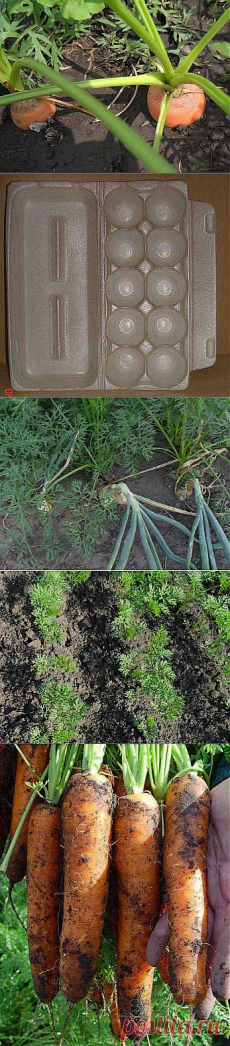 Как получить хороший урожай моркови. .