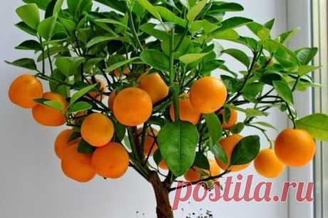 (36) Одноклассники    Как вырастить мандарин из косточки в домашних условиях?