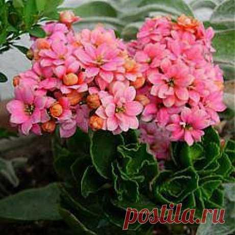 Комнатные растения – лекари. Какие растения помогают справиться с болезнями?   Советы Народной Мудрости