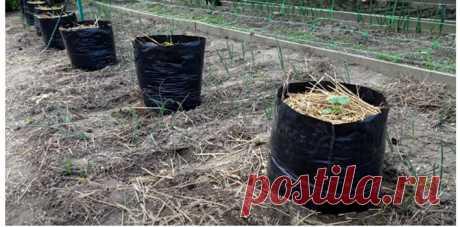"""Выращивание огурцов в """"бездонных мешках"""" экономит время и место. Урожай радует"""