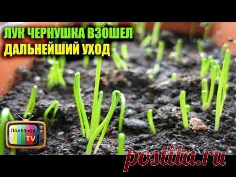 (1) ЛУК ЧЕРНУШКА ВЗОШЕЛ ДАЛЬНЕЙШИЙ УХОД - YouTube