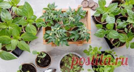 Секреты выращивания здоровой рассады. Спецпроект — Ботаничка.ru