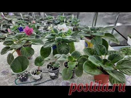 Как правильно вырастить фиалку от листа до цветущей розетки новичку, все этапы развития фиалок.