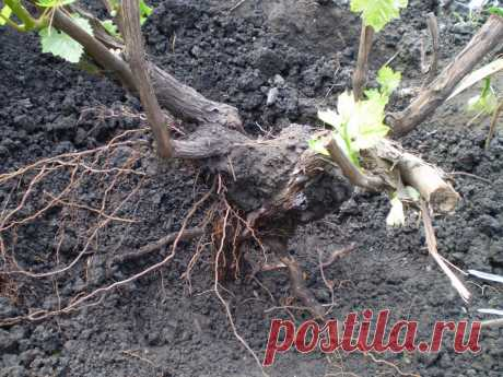 Как пересадить виноград на другое место, когда и как лучше это делать в том числе в Подмосковье Можно ли пересаживать виноград и для чего. Когда лучше проводить пересадку. Как правильно пересадить кусты разного возраста. Региональные особенности процесса.