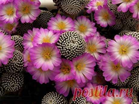 Маммиллярия - вид кактуса